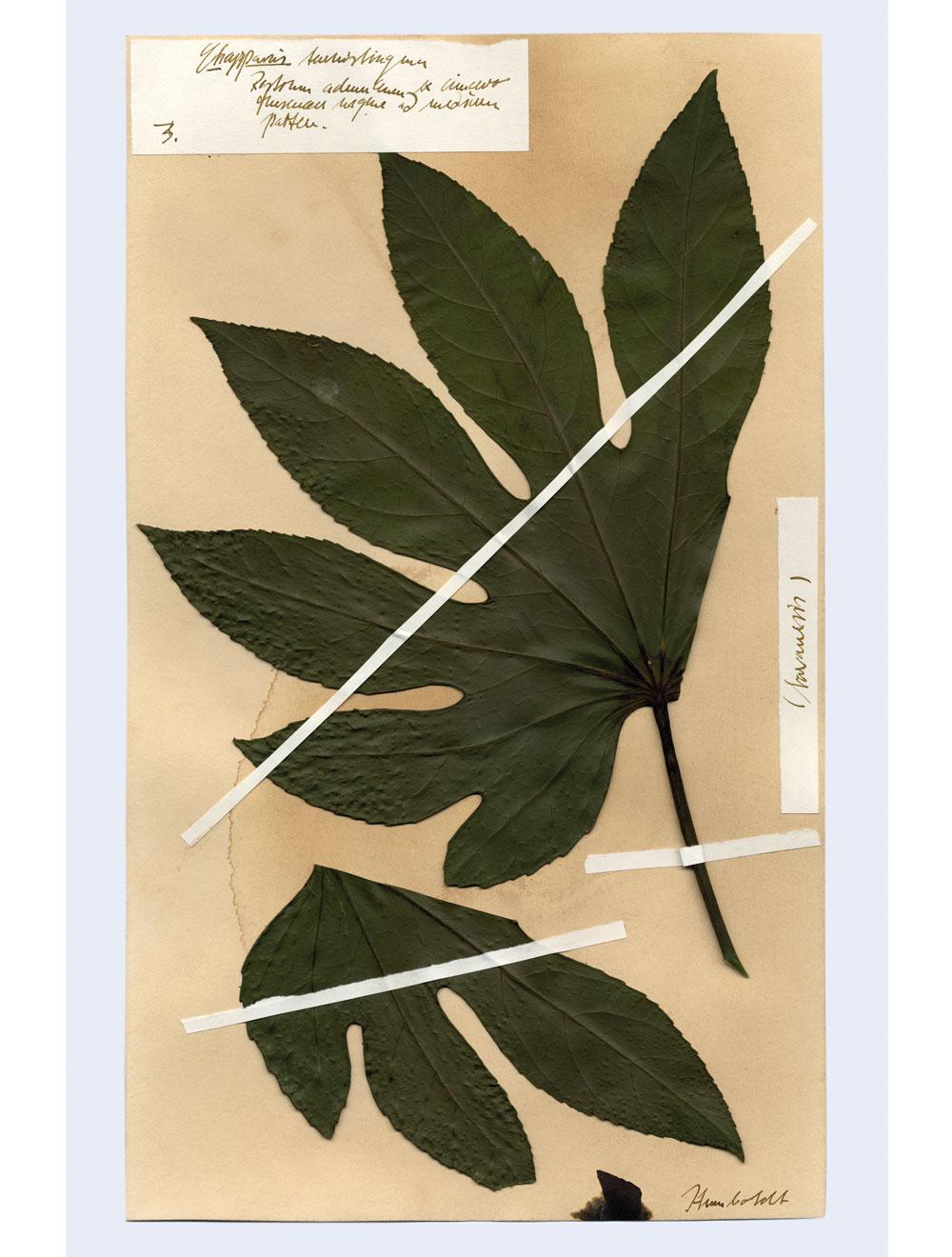 Spezialrequisite // Herbariumsblätter Humboldt (um 1850)